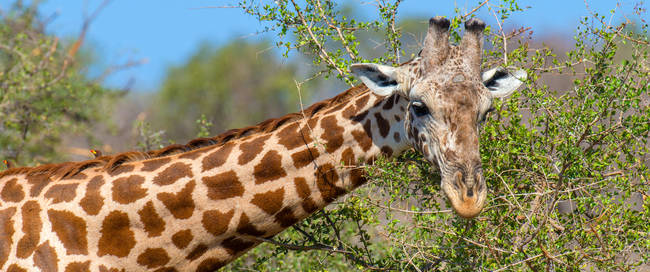 Nieuwsgierige giraffe, Addo Elephant National Park