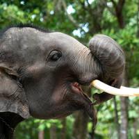 Thaise olifant