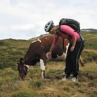 Fiets en koe