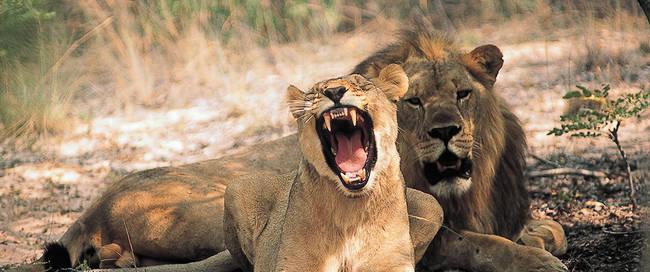Leeuwen bij Entabeni Game Reserve