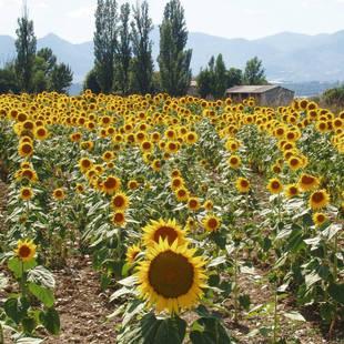 Frankrijk zonnebloemen
