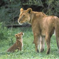 Leeuwin met jong in Moremi NP