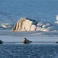 Zeehonden bij Jökulsarlon gletsjermeer