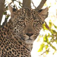 Luipaard bij Leopard Mountain Lodge