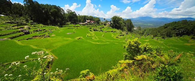 Rijstveld in Makassar