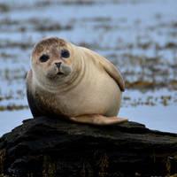 Zeehond op Orkney
