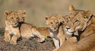 Leeuwen familie Kruger National Park