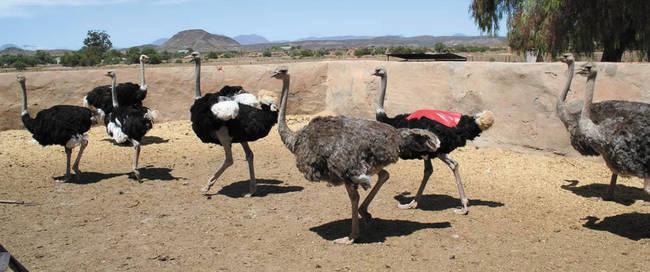 Struisvogels bij Oudtshoorn