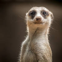 "Zuid-Afrikaanse ""Meerkat"" - Stokstaartje"