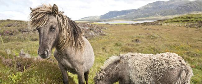 Isle of Uist - shetland pony's