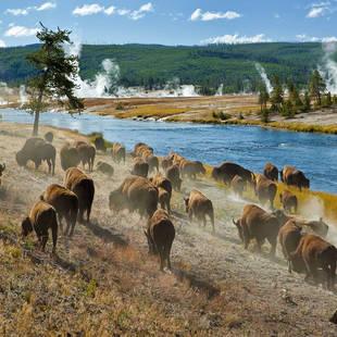 Yellowstone NP bizons