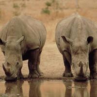 Nijlpaard drinken