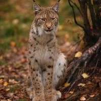 Wildlife lynx - Foto: Antero Aaltonen
