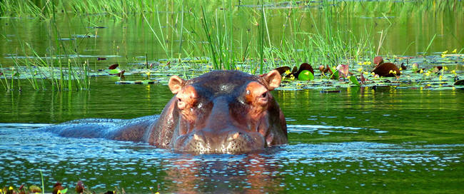 Nijlpaard bij St. Lucia
