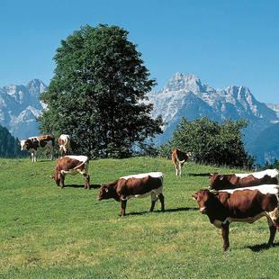 Oostenrijk koeien