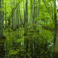Swamp Natchez