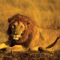 Leeuw in Kruger