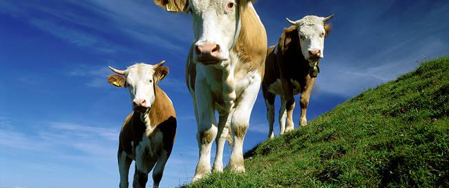 000561_Cows_Ludwig-Mallaun