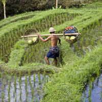 Rijstterras op Java