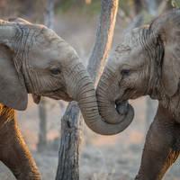 Spelende Olifanten in het Addo Elephant National Park