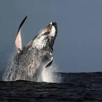Walvis bij Hermanus