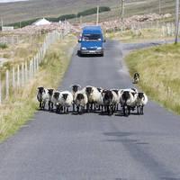 Auto en schapen op de weg