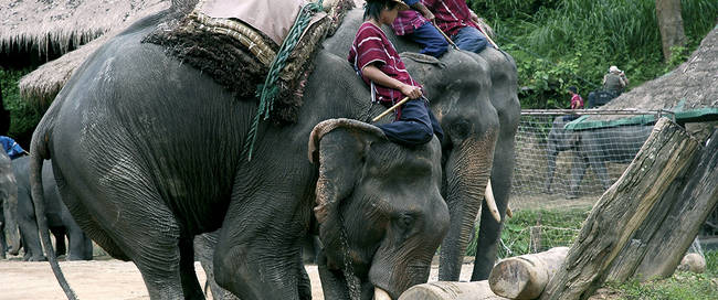 Chiang Mai - olifanten