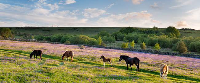 Wilde paarden in het Dartmoor Nationaal Park
