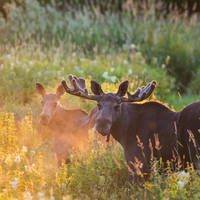 Twee elanden Foto Torbjorn Martinsen