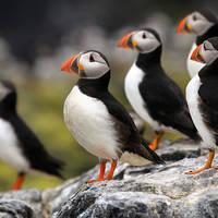 Orkney - Papegaaiduikers