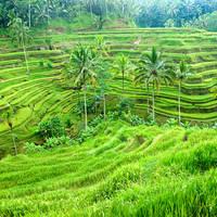 Rijstveld in Ubud