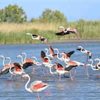 Camargue - flamingo's