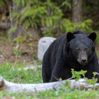Bear watching in Canada