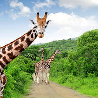 Giraffen in Kruger National Park