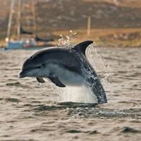 Dolfijn op de Hebriden