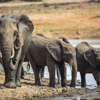 Afrikaanse olifant in het Krugerpark