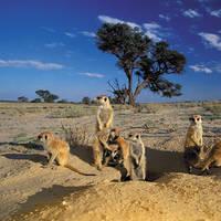 Stokstaartjes in Kgalagadi Transfrontier Park