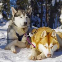Twee husky's