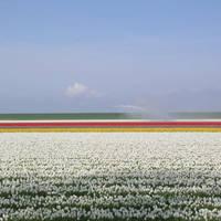Tulpenveld in de Noordoostpolder bij Urk