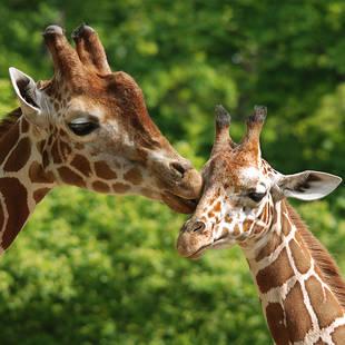 shutterstock_55401175 Giraffes