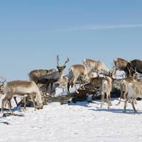 Rendieren omgeving Tromsø
