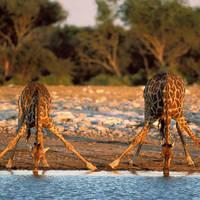 Giraffes drinken in Etosha NP