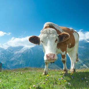 Oostenrijkse Alpenweide