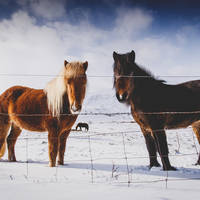 IJslandse paarden - Foto: Iceland Travel