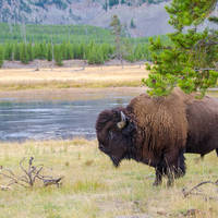 Bizon in Yellowstone National Park