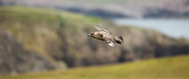 Vogel Shetland's