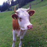 Koe in de omgeving