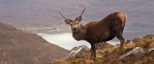 Hert in de hooglanden