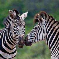 Zebra's in Hluhluwe-iMfolozi Game Reserve
