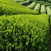 Thee plantage Cameron Highlands